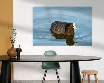Een meerkoet zwemt rustig over een kleine vijver in Noord-Duitsland van Matthias Korn