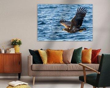 Seeadler auf der Jagd in einem Fjord von Sjoerd van der Wal