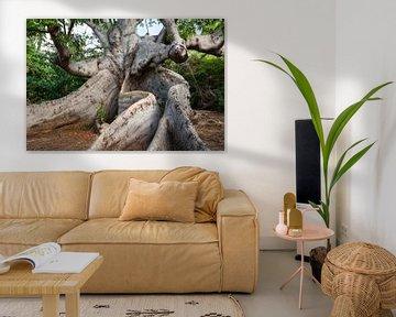 800 jaar oude kapokboom op Curacao van Peter de Kievith Fotografie