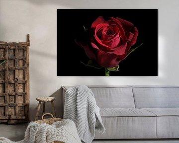 Dunkelrote Rosenblüte vor schwarzem Hintergrund mit Kopierraum, traditionelles Liebessymbol, ausgewä
