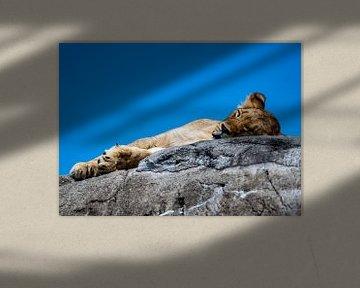 Schlafendes Löwenjunges von Van Keppel Studios