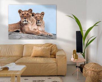 Zwei Löwinnen auf der Lauer von Van Keppel Studios