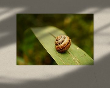 Close up van slakkenhuis op riet van ViLa