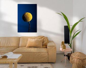 Craspedia globosa Blume von Van Keppel Studios