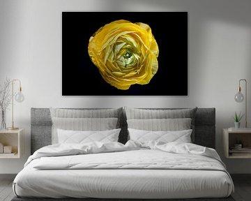 Gelbe Ranunkel in Blüte von Marcel Bakker