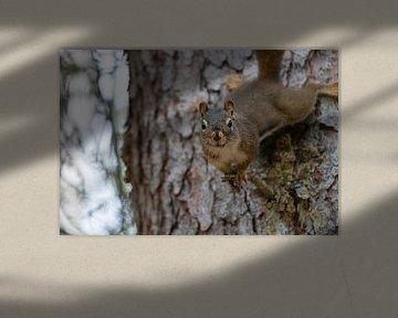 Rothörnchen (Tamiasciurus hudsonicus), Banff National Park, Alberta, Kanada von Alexander Ludwig