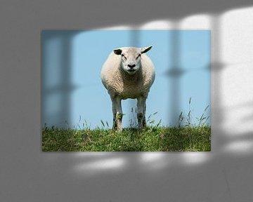 schaap in de wei von Compuinfoto .