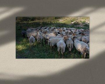 een kudde schapen von Compuinfoto .