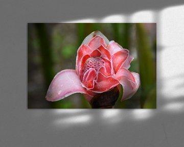 Blume Ecuadors von Hermineke Pijls