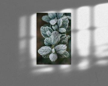 Ceanothus mit einer dünnen Schicht aus Eis von Tamara Mollers Fotografie Mollers