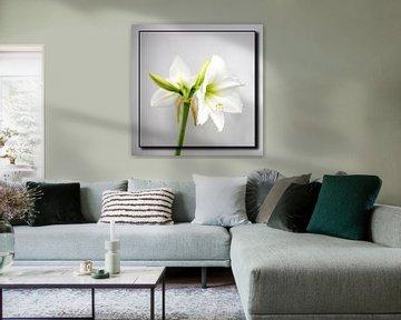 Amaryllis von Frank Janssen