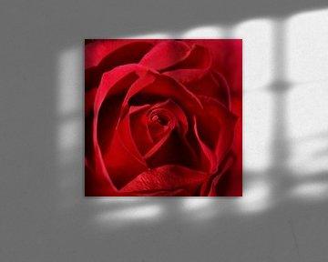 Rode Roos van Violetta Honkisz