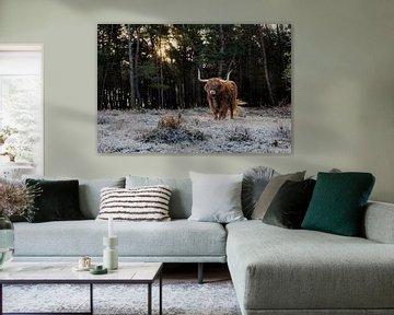 Schotse Hooglander in een winters en zonnig landschap in Nederland. van Maikel Dijkhuis