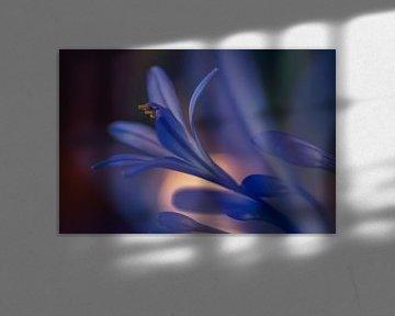 Kaplilie in Nahaufnahme von Ellen Driesse