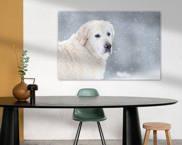 Golden Retriever Gesicht in den Schnee