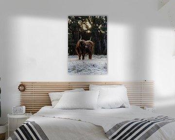 Schotse Hooglander portret in een winters en zonnig bos landschap in Nederland. van Maikel Dijkhuis