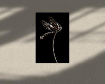 Gedroogde tulp van Steffen Sebastian Schäfer