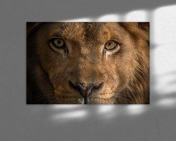 Gros plan sur le lion sur FotovanHenk