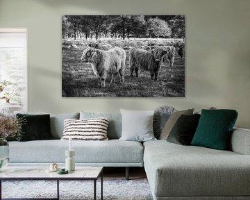 Schottische Highlander-Kühe im Nationalpark Drentse Aa in Drenthe. von Bas Meelker