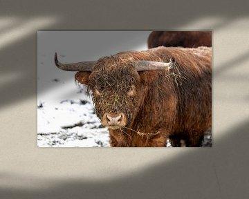 Le taureau porte sa grande corne avec fierté sur Harald Schottner
