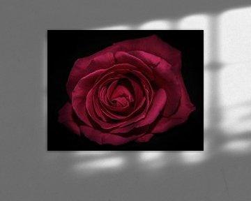 Rosa Rose von Marjolein van Middelkoop