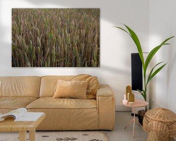 Akkerveld met graan nog groen en bruin