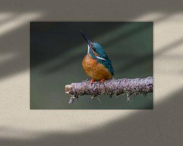 IJsvogel mannetje van Paul Weekers Fotografie