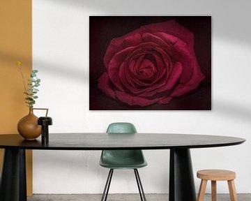 La rose sur Marjolein van Middelkoop