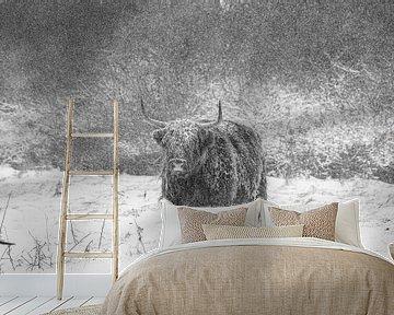 Schotse Hooglander in de Nederlandse Winter van Pieter van Dijk