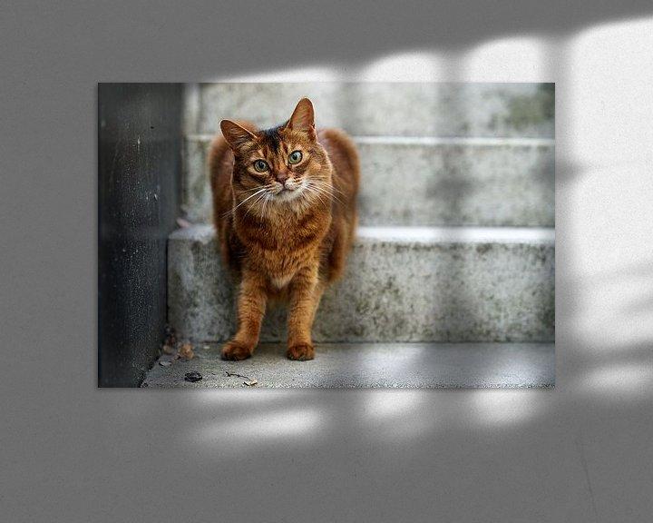 Beispiel: Somali-Katze von D Art