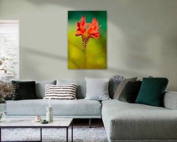 Leuchtend bunte Krokosmie Blume von Tot Kijk Fotografie: natuur aan de muur