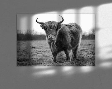Schotse Hooglander met gras in zijn bek van Jeroen Gutte