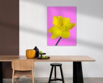 Gelbe Narzisse auf pinkfarbenen Hintergrund von Katrin May