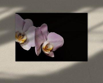 Orchidee mit schwarzem Hintergrund von Philipp Klassen