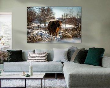 Schotse Hooglander in de sneeuw van Paula Romein