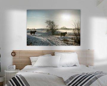 Schotse Hooglander in de Zeepe duinen in Zeeland met sneeuw