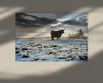 Schotse Hooglander in de sneeuwlandschap