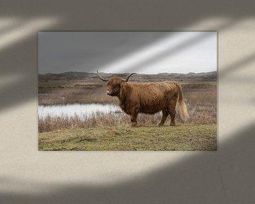Schotse Hooglander op Texel van Dick Carlier