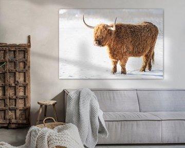 Schotse Hooglander in de sneeuw van Cindy Van den Broecke