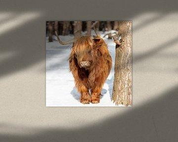 Schattige Schotse Hooglander in de sneeuw van Dennisart Fotografie
