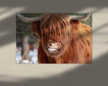 Grappige Schotse Hooglander van Dennisart Fotografie