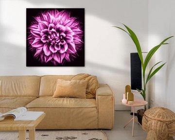 Makro Blüte einer Dahlie in pink von Dieter Walther