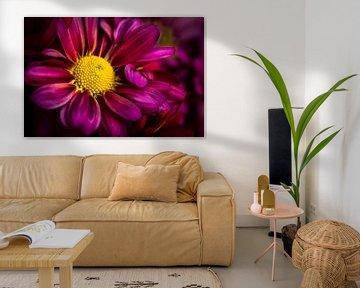Makro lila blühende Chrysantheme von Dieter Walther