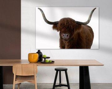 Portret Schotse Hooglander met witte achtergrond van Marjolein van Middelkoop