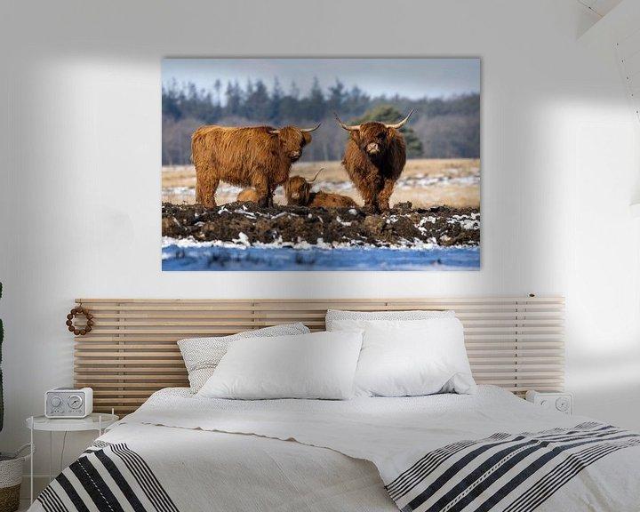 Sfeerimpressie: Schotse Hooglanders van Koos de Vries