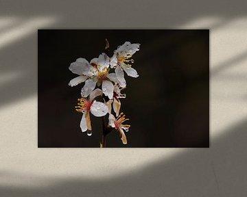 Mandelblüte nach einem Regenschauer. von Jan Katuin