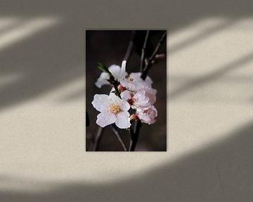 Mandelblüte nach einem Regenschauer. II von Jan Katuin