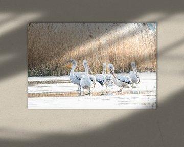 Pelikane auf dem Eis von Scholtes Fotografie