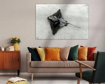 Ein Stachelrochen schwimmt nahe der Küste in Australien. von Coos Photography