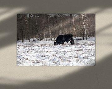 Tauros stier in de sneeuw